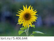 Подсолнух. Стоковое фото, фотограф Александр Гаврилов / Фотобанк Лори