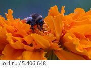 Шмель на оранжевом цветке. Стоковое фото, фотограф Александр Гаврилов / Фотобанк Лори