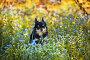 Черный длинношерстный чихуахуа в траве, фото № 5431144, снято 26 мая 2017 г. (c) Julia Shepeleva / Фотобанк Лори