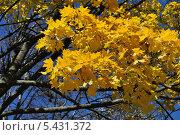 Купить «Желтые осенние листья клена на фоне синего неба», эксклюзивное фото № 5431372, снято 13 октября 2013 г. (c) lana1501 / Фотобанк Лори