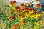 Цветы рудбекии, фото № 5431712, снято 28 августа 2013 г. (c) Светлана Попова / Фотобанк Лори