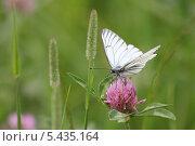 Белая бабочка на цветке. Стоковое фото, фотограф Михаил Дериглазов / Фотобанк Лори