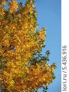 Купить «Желтые осенние листья на фоне синего неба», эксклюзивное фото № 5436916, снято 18 сентября 2011 г. (c) lana1501 / Фотобанк Лори