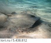 Скат-хвостокол (Himantura uarnak) маскируется в песке. Стоковое фото, фотограф Владимир Киликовский / Фотобанк Лори