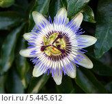 Цветок страсти. Цветок маракуйи - пассифлора. Стоковое фото, фотограф Kate Chizhikova / Фотобанк Лори