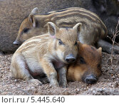 Купить «Спящие дикие поросята», фото № 5445640, снято 28 июля 2013 г. (c) Kate Chizhikova / Фотобанк Лори