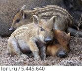Спящие дикие поросята. Стоковое фото, фотограф Kate Chizhikova / Фотобанк Лори