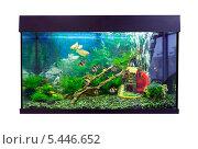 Красивый аквариум с цихлидами и барбусами, белый фон, фото № 5446652, снято 27 декабря 2013 г. (c) Евгений Ткачёв / Фотобанк Лори