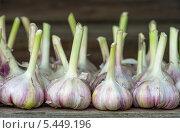 Купить «Урожай чеснока», фото № 5449196, снято 26 июля 2011 г. (c) Икан Леонид / Фотобанк Лори