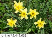 Купить «Желтые нарциссы  (лат. Narcissus)», эксклюзивное фото № 5449632, снято 8 мая 2013 г. (c) Елена Коромыслова / Фотобанк Лори