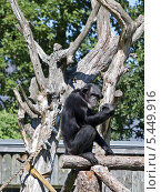 Шимпанзе (Pan troglodytes). Таллин, зоопарк. Стоковое фото, фотограф Александр Виноградов / Фотобанк Лори