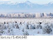 Купить «Сибирская зима. Заснеженные горы и лес. Лошади пасутся среди белых сосен», фото № 5454640, снято 4 января 2014 г. (c) Виктория Катьянова / Фотобанк Лори