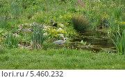 Купить «Цапля в парке Кралинген. Роттердам. Нидерланды.», фото № 5460232, снято 6 мая 2012 г. (c) Natalia Nemtseva / Фотобанк Лори
