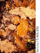 Купить «Дубовые осенние листья», фото № 5466896, снято 16 августа 2018 г. (c) Светлана Мамонтова / Фотобанк Лори