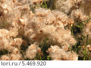Купить «Репейник отцветающий (лат.Arctium)», эксклюзивное фото № 5469920, снято 6 августа 2011 г. (c) lana1501 / Фотобанк Лори