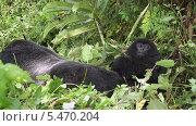 Купить «Детеныш горной гориллы лежит рядом с самкой. Заповедник в горах Вирунга, страна Руанда, Центральная Африка», видеоролик № 5470204, снято 9 января 2014 г. (c) Кекяляйнен Андрей / Фотобанк Лори