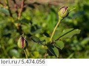 Бутоны роз. Стоковое фото, фотограф Дмитрий / Фотобанк Лори