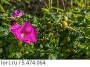 Шиповник в саду. Стоковое фото, фотограф Дмитрий / Фотобанк Лори