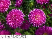 Хризантемы. Стоковое фото, фотограф Дмитрий / Фотобанк Лори