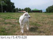 Купить «Домашняя коза пасется на травке летом  (лат. Capra aegagrus hircus)», эксклюзивное фото № 5479628, снято 20 августа 2011 г. (c) lana1501 / Фотобанк Лори