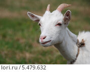 Купить «Домашняя коза (лат. Capra aegagrus hircus)», эксклюзивное фото № 5479632, снято 20 августа 2011 г. (c) lana1501 / Фотобанк Лори