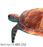 Зеленая морская черепаха, изолированно на белом фоне. Стоковое фото, фотограф Владимир Киликовский / Фотобанк Лори