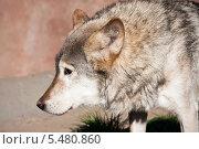 Купить «Портрет волка», фото № 5480860, снято 8 октября 2010 г. (c) Алексей Попов / Фотобанк Лори