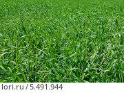 Зеленая трава. Стоковое фото, фотограф Сергей Рудаков / Фотобанк Лори