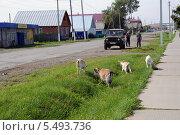Купить «Мужчины смотрят на пасущихся коз. Село Армизонсокое Тюменской области», фото № 5493736, снято 22 августа 2013 г. (c) Александр Тараканов / Фотобанк Лори