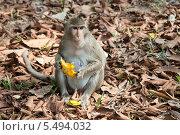 Мартышка ест манго в джунглях Ангкор Ват. Стоковое фото, фотограф Гуляева Юлия / Фотобанк Лори