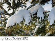 Купить «Заснеженные ветви сосны», фото № 5499292, снято 19 января 2014 г. (c) Екатерина Овсянникова / Фотобанк Лори