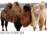 Верблюды. Стоковое фото, фотограф Пушкина Ольга / Фотобанк Лори