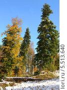 Купить «Смешанный лес: буки и пихты. Ранняя осень и первый снег на горе Мамдзышха, Абхазия», фото № 5513640, снято 7 октября 2013 г. (c) Анна Мартынова / Фотобанк Лори