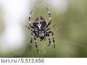 Паук плетет паутину. Стоковое фото, фотограф Александр Мосеев / Фотобанк Лори