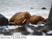 Купить «Спящий морж», фото № 5516916, снято 5 октября 2013 г. (c) Максим Деминов / Фотобанк Лори