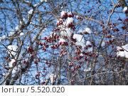 Калина. Стоковое фото, фотограф Наталья Югай / Фотобанк Лори
