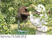 Пчеловод на пасеке собирает отроившийся пчелиный рой. Стоковое фото, фотограф Антон Силецкий / Фотобанк Лори