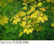 Купить «Желтые осенние листья клена на фоне зеленой листвы», эксклюзивное фото № 5535096, снято 12 мая 2013 г. (c) lana1501 / Фотобанк Лори