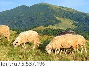 Купить «Овцы в горах», фото № 5537196, снято 29 июля 2013 г. (c) Швадчак Василий / Фотобанк Лори