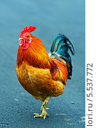 Портрет яркого петуха. Стоковое фото, фотограф Эдуард Кислинский / Фотобанк Лори