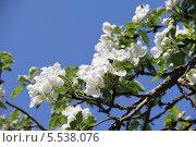Цветущая ветка яблони на фоне голубого неба. Стоковое фото, фотограф Алексеева Оксана / Фотобанк Лори