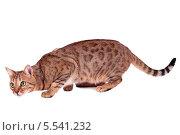 Купить «Рыжий кот породы Бенгал, изолировано на белом фоне», фото № 5541232, снято 6 января 2014 г. (c) Игорь Долгов / Фотобанк Лори
