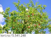 Купить «Яблоня с яблоками», эксклюзивное фото № 5541248, снято 18 августа 2013 г. (c) Алёшина Оксана / Фотобанк Лори