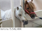Купить «Два пони в деннике», фото № 5542484, снято 6 сентября 2012 г. (c) Losevsky Pavel / Фотобанк Лори