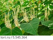 Горец японский (Reynoutria japonica, Polygonum sachalinensis) Стоковое фото, фотограф Алёшина Оксана / Фотобанк Лори