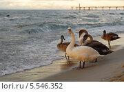 Купить «Лебедь охраняет своё семейство. Берег Балтики», эксклюзивное фото № 5546352, снято 20 февраля 2019 г. (c) Svet / Фотобанк Лори
