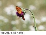 Бабочка на чертополохе. Стоковое фото, фотограф Анатолий Матвейчук / Фотобанк Лори