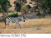 Купить «Зебра в Кении», фото № 5561172, снято 20 августа 2010 г. (c) Знаменский Олег / Фотобанк Лори