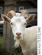 Купить «Портрет белой козы», фото № 5572540, снято 14 сентября 2013 г. (c) Любовь Назарова / Фотобанк Лори