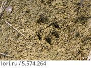 След животного на песке. Стоковое фото, фотограф Pavel Kozlovsky / Фотобанк Лори